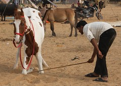 Horse Training 2 (Simon Maddison LRPS) Tags: raw pushkar rajasthan