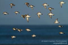 Dunlin in flight (Calidris alpina) (gcampbellphoto) Tags: winter bird beach nature coast wildlife northernireland dunlin calidrisalpina shorebird wader northantrim gcampbellphoto