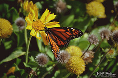 Monarch (Hi-Fi Fotos) Tags: flower nature beautiful butterfly insect wings nikon king tiger sigma monarch pollen migration milkweed epic d5000 18250mm hallewell hififotos