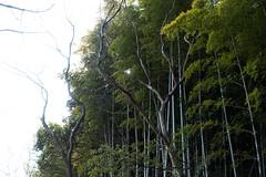 Senri Bamboo Grove (nak.viognier) Tags:   leicadgmacroelmarit45mmf28 olympusepl3 senribamboogrove