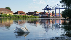 """Home Sweet Home"" (grinnin1110) Tags: swimming river germany de deutschland europe wiesbaden hessen schwimmen main schwan vogel hesse cygnusolor whiteswan mainufer höckerschwan maaraue"