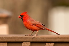 Backyard Wildlife (Ryan Jeske) Tags: bird backyard cardinal wildlife telephoto canon70d canonef100400mmf4556lisiiusm