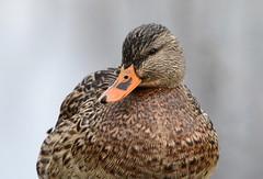 Mallard (careth@2012) Tags: portrait eye nature closeup duck nikon britishcolumbia wildlife beak feathers headshot mallard 55300mm nikond3300 d3300