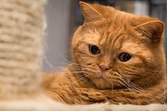 Project 366 - 42/366:  Waking up (sdejongh) Tags: portrait detail texture face animal closeup cat project fur eyes feline nap sleep ears shorthair rest british hambre sharpness 366 42366