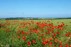 Poppies in Normandy (DameBoudicca) Tags: blue red sky france flower rot fleur azul rouge rojo frankreich blu flor himmel ciel cielo poppy poppies blomma normandie blau  fiore blte rosso normandy francia   normandia papaver  frankrike bl mohn rd papavero  vallmo normanda