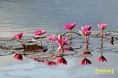 Lake Seloton Lotus (lantaw.com) Tags: lake dailylife lakesebu dugoutcanoe tboli southcotabato lakeseloton