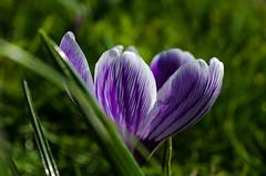 DSC_0076 (Jac) Tags: flower macro spring nikon utrecht d5100