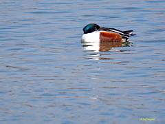 Cuchara comn              (Anas clypeata) (24) (eb3alfmiguel) Tags: aves cuchara comn acuaticas europeo antidas