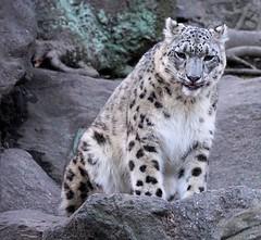 Kali (greekgal.esm) Tags: feline bronx sony leopard bronxzoo snowleopard wcs wildlifeconservationsociety sal70300g himalayanhighlands a77m2 a77mii