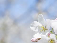 cherry blossom (Louis Umerlik) Tags: park macro cherry spring blossom maryland baltimore wyman