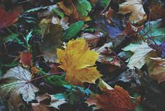 Leaves (Sareni) Tags: autumn light colors leaves vintage leaf october slovenia list slovenija mb maribor 2012 twop boje jesen svetlost lisce sareni