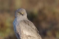 _NAT8718 (VictorD7000) Tags: espaa birds birding alicante birdwatching torrevieja circuspygargus rapaces aguiluchocenizo nikond7200 sigma150600sport pnlagunasdelamatatorrevieja