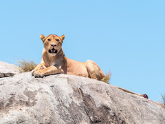Lioness on a Kopje (davdenic  in the sky ) Tags: africa nature tanzania wildlife safari ngorongoro serengeti savanna savana