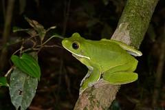 White-lipped Tree Frog (Litoria infrafrenata) (shaneblackfnq) Tags: park york tree green rainforest iron north australia amphibian frog national queensland tropical cape range far tropics peninsular fnq litoria infrafrenata shaneblack whitelipped