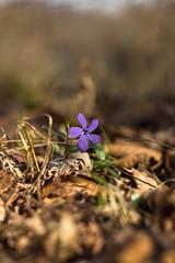 Vinca minor (discodavyjones) Tags: flower primavera spring periwinkle fiore pervinca parcodelticino