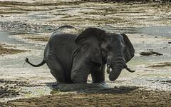 Knee Deep (philnewton928) Tags: africa wild elephant nature animal southafrica mammal outdoors nikon mud outdoor wildlife safari waterhole animalplanet krugernationalpark kruger africanelephant satara tusker loxodontaafricana elephantbull d7200 nikond7200