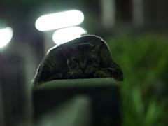 P3211259 (tatsuya.fukata) Tags: animal cat thailand samutprakan