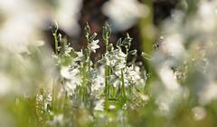20160411-012F (m-klueber.de) Tags: flora wrzburg liliaceae 2016 weis unterfranken ornithogalum nutans europische mainfranken mitteleuropische mkbildkatalog rosenbachgarten rosenbachpark 20160411 20160411012f