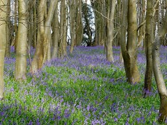 * Bluebell Boulevard (velodenz) Tags: velodenz fujifilm x30 digital image pic picture phot photo photograph photography tree bough branch nature arbre arbol baum springtime printemps primavera flower bloom blum fleur flor flore flora fiore fiori plant bluebell boulevard bluebells chesland wood kingsdown south wraxhall wiltshire england natur naturaleza greatphotographers interesting top twenty 20 toptwenty top20 autofocus 100commentgroup 1000 views 1000views repostmyfuji repostmyfujifilm fuji xseries