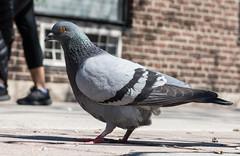Jurassic Pigeon (Jay:Dee) Tags: toronto bird photo walks pigeon parkdale topw topwpkdl