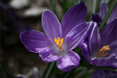 (EburneanLace) Tags: flowers flower nature closeup garden photography spring purple crocus blooming