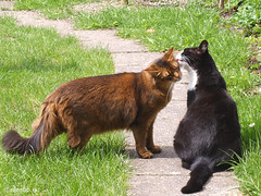 Rags & Snow White kissing (2013) (Finn Frode (DK)) Tags: pet cats love animal cat garden denmark spring kiss outdoor rags olympus som somali sniff snowwhite mixedbreed meet somalicat sympathy domesticshorthair e400 snehvide dusharatattersandrags