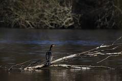 sur sa branche. (poun'ish) Tags: nature wildlife oiseau tang sauvage cormoran