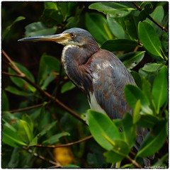 Tricolor Heron, Juvenile (RKop) Tags: a77mk2 70400gssmsony raphaelkopanphotography sanibel florida sony
