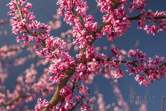 Redbud Blossoms (J.L. Ramsaur Photography) Tags: flower macro nature closeup rural outdoors photography photo spring nikon dof purple bokeh tennessee blossoms bluesky pic depthoffield photograph thesouth purpleflower renewal springtime redbud cumberlandplateau cookeville macrophotography ruralamerica closeupphotography floweringtree beautifulsky 2016 putnamcounty deepbluesky cookevilletn springisintheair middletennessee ruraltennessee ruralview cookevilletennessee ibeauty tennesseephotographer redbudblossoms southernphotography screamofthephotographer jlrphotography photographyforgod d7200 engineerswithcameras godsartwork naturespaintbrush jlramsaurphotography nikond7200 cookevegas