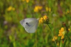 Pieris rapae (Linnaeus, 1758) (Jess Tizn Taracido) Tags: lepidoptera pierisrapae pieridae pierinae papilionoidea pierini