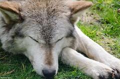 Sleepy Wolf (Mammal Pack) Tags: sleeping animal fur zoo wolf sleepy cotswoldwildlifepark cotwolds