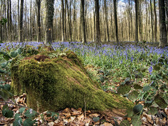 Bluebells in the Micheldever Wood (neilalderney123) Tags: wood flowers trees bluebells landscape forestry olympus winchester micheldever 2016neilhoward
