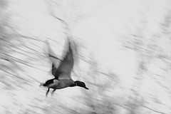 IMG_5111 (rmp.17) Tags: white black flying duck movement blury