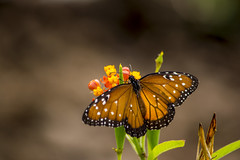 Butterfly (sostenesmonteiro) Tags: flower nature butterfly insect nikon natureza flor insects inseto borboleta insetos d5200 sostenesmonteiro totecmt