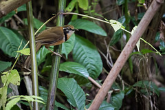 Greater-necklaced-laughingthrush-N81_7053 (Niklas_N) Tags: china nature birds wildlife greater yunnan kina laughingthrush d810 necklaced forrestbird nikkorafs500mmf4edvr