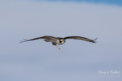 Osprey returns from Home Depot sequence - 1 of 27