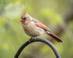 Northern Cardinal (female) (wplynn) Tags: wild bird birds female cardinal indianapolis indiana northern avian castleton cardinalis