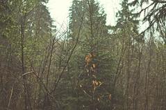 nikon_d90_10.04.16_03 (iiyyyii) Tags: wood mist plant tree leaves rain fog forest landscape spring outdoor fresh raindrops birch springawakening nikond90 nikkor35mmf18