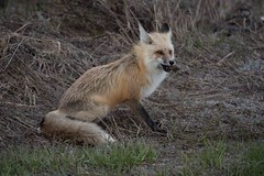 April 29, 2016 066 (Jeff Bernhard) Tags: wildlife fox jacksonhole grandtetonnationalpark gtnp