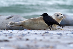 a crow looks for open scars on a common harbor seal, Seehund, Phoca vitulina @ Helgoland, Heligoland in April 2016 (Jan Rillich) Tags: sea sun nature beautiful beauty animal fauna digital canon photography eos for photo spring flora foto fotografie looking image jan wildlife picture free sunny insel april crow northern nordsee sandstein scars dne frhling helgoland 2016 seehund animalphotography phocavitulina buntsandstein heligoland hochseeinsel janrillich rillich commonharborseal