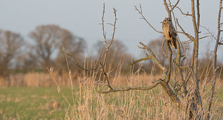 Short-eared Owl, wide angle (2 of 2)