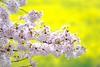 桜と菜の花 (milk777) Tags: 桜 菜の花 幸手 権現堂