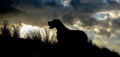 Climbing the Dunes (mayaplus) Tags: dog beach nature dunes greatdane contrejour skydarkclouds