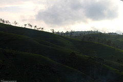 Tea Mountains   (mosa3ad alshetwi) Tags: travel sky tree green nature photo flickr candy tea mount srilanka cupe                mosa3ad