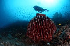 Barrel (Randi Ang) Tags: bali coral canon indonesia photography eos underwater angle barrel wide dive scuba diving fisheye ang sponge 15mm randi 6d amed