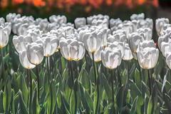 White tulips (shinichiro*) Tags: flower japan tokyo spring tulip april crazyshin 2016  sd1m sigmasd1merrill sigma18300mmf3563dcmacrooshsm 20160415sdim1598
