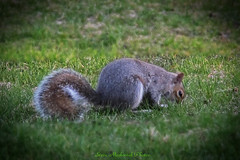 Squirrel_14291 (smack53) Tags: canon rodent spring squirrel powershot creature springtime allgodscreatures g12 photoshopelements canonpowershotg12 smack53