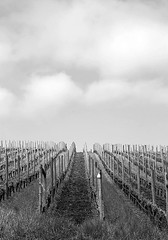 Pinot Noir Vineyards, Oregon (Robert_Brown [bracketed]) Tags: blue sky green grass oregon photo vineyard spring noir wine hill trellis rows photograph wires valley poles paths agriculture willamette pinot ordered orderly vinoculture