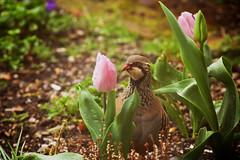 Checking out the Tulips (jayneboo) Tags: game garden spring tulips partridge damp gamebird throughmywindow redleggedpartridge