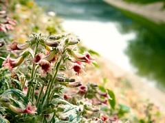 Wild flowers (xiaotonw) Tags: flowers nature beautiful river spring beijing wildflowers riverbank